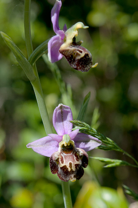 Ophrys fausse-bécasse
