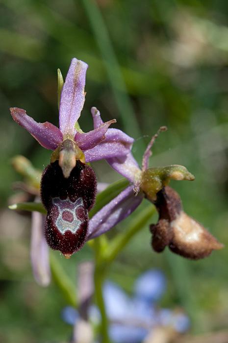 Ophrys Aurélien
