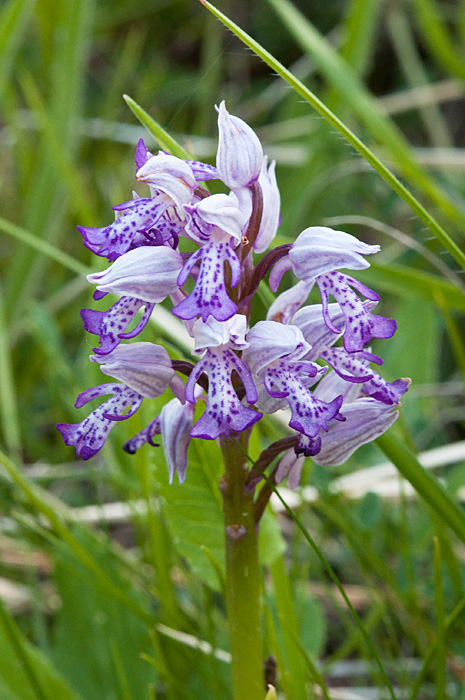 orchis militaire