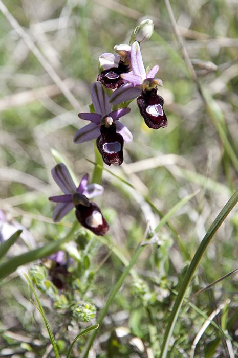 Ophrys de la Drôme