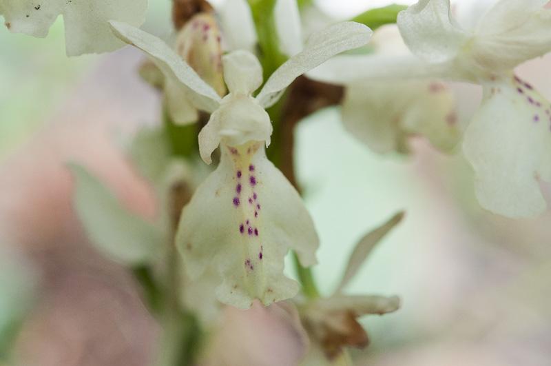 Orchis de Provence