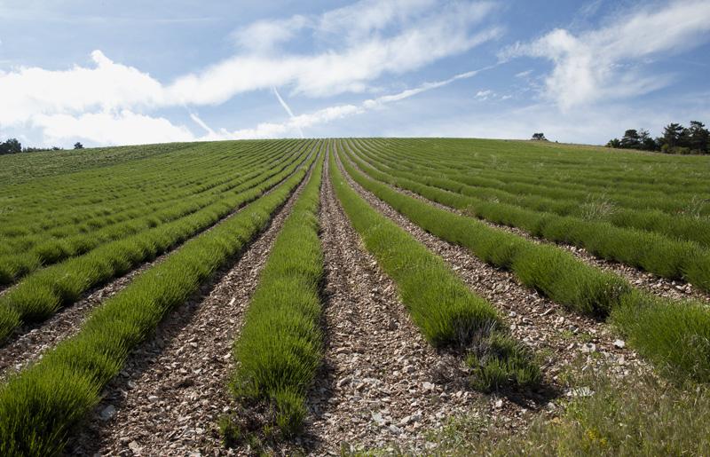 Un champ de lavandin