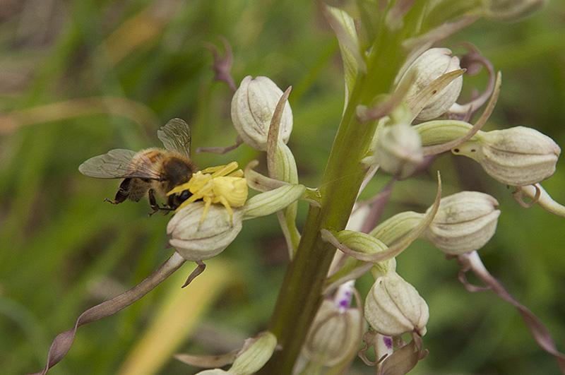 Combat abeille/araignée