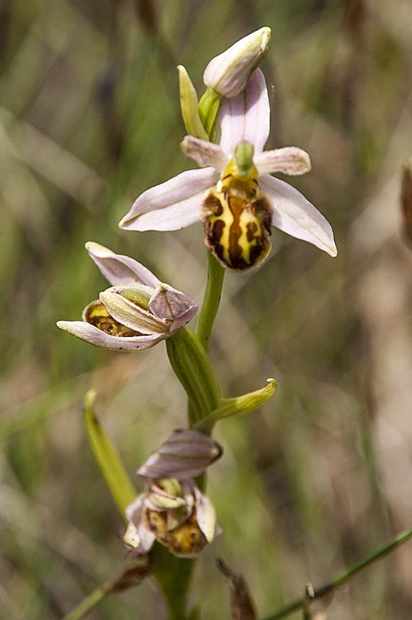 Ophrys de Demange