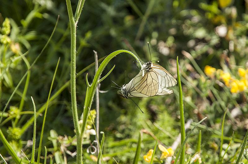 Les amours des papillons