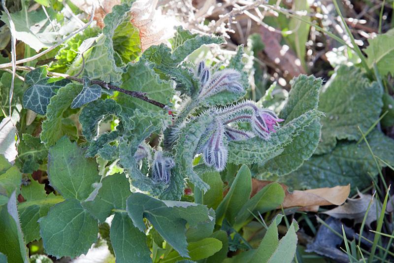 2016 - Les plantes comestibles